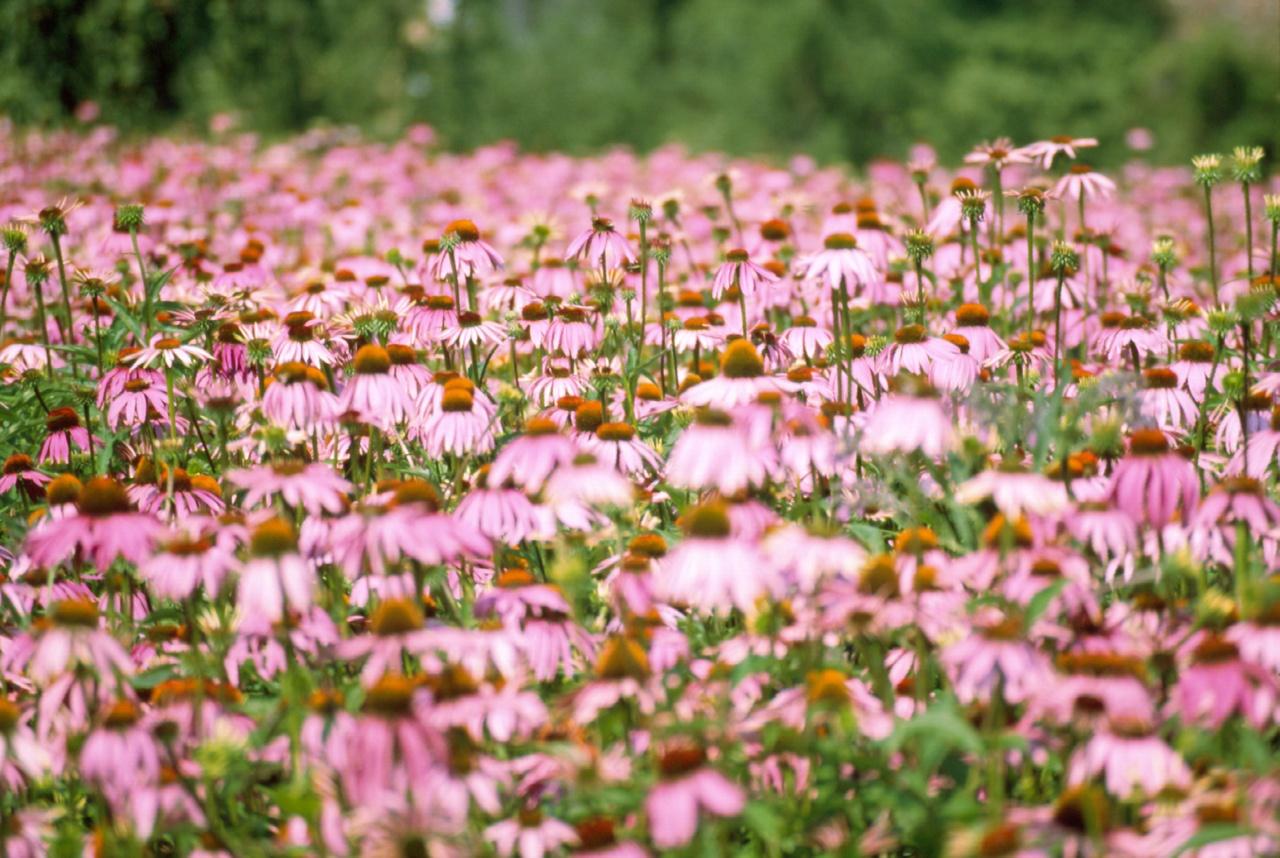 La echinacea (Echinacea purpurea L.) es una planta herbácea y perenne, que puede llegar a medir un metro de altura. Originaria de Norteamérica, se cree que lleva utilizándose desde hace siglos por las tribus indias de este continente para curar las heridas de las flechas o las picaduras de serpiente. Ya a principios del siglo XX, se adopta en Europa. Sus flores son muy similares a las margaritas, de tonos rosáceos o púrpuras. Su nombre proviene del griego Echinos, que significa 'erizo', por su cabezuela central, llena de espinas; y purpurea indica, en latín, el propio color de los pétalos. Existen en total 23 especies, aunque sólo diez son aptas para el consumo humano. De éstas, las variedades más conocidas son la purpurea –la más conocida y usada, sobre todo en Europa–, angustifolia y pallida. Se puede aprovechar todo de esta planta, desde la raíz hasta las hojas y las flores, por sus beneficios y propiedades medicinales inmunomoduladoras, antivíricas y antibióticas. Gracias a sus propiedades, la echinacea fresca sirve para combatir dolencias como las infecciones respiratorias, utilizándose para afecciones tan comunes y recurrentes como el resfriado y la gripe. En la actualidad, existen preparados fitoterápicos a base de echinacea fresca, como Echinaforce Forte, que guardan todas las propiedades de esta planta. – Beneficios de la echinacea fresca – · Previene y acorta síntomas de gripe y resfriados Sin duda, su uso más habitual y por el que es más conocida es el de combatir enfermedades que suelen llegar con el otoño e invierno, como sinusitis, faringitis, gripe o catarros comunes. De hecho, existen estudios* que indican que es tan efectiva como el antigripal más frecuente, pero más segura, puesto que presenta menos riesgos de complicaciones y efectos secundarios. La Agencia Europea del Medicamento (EMA) acepta su uso para prevenir y tratar el resfriado, así como la ESCOP (European Scientific Cooperative on Phytoterapy) recomienda el empleo de los preparados de par