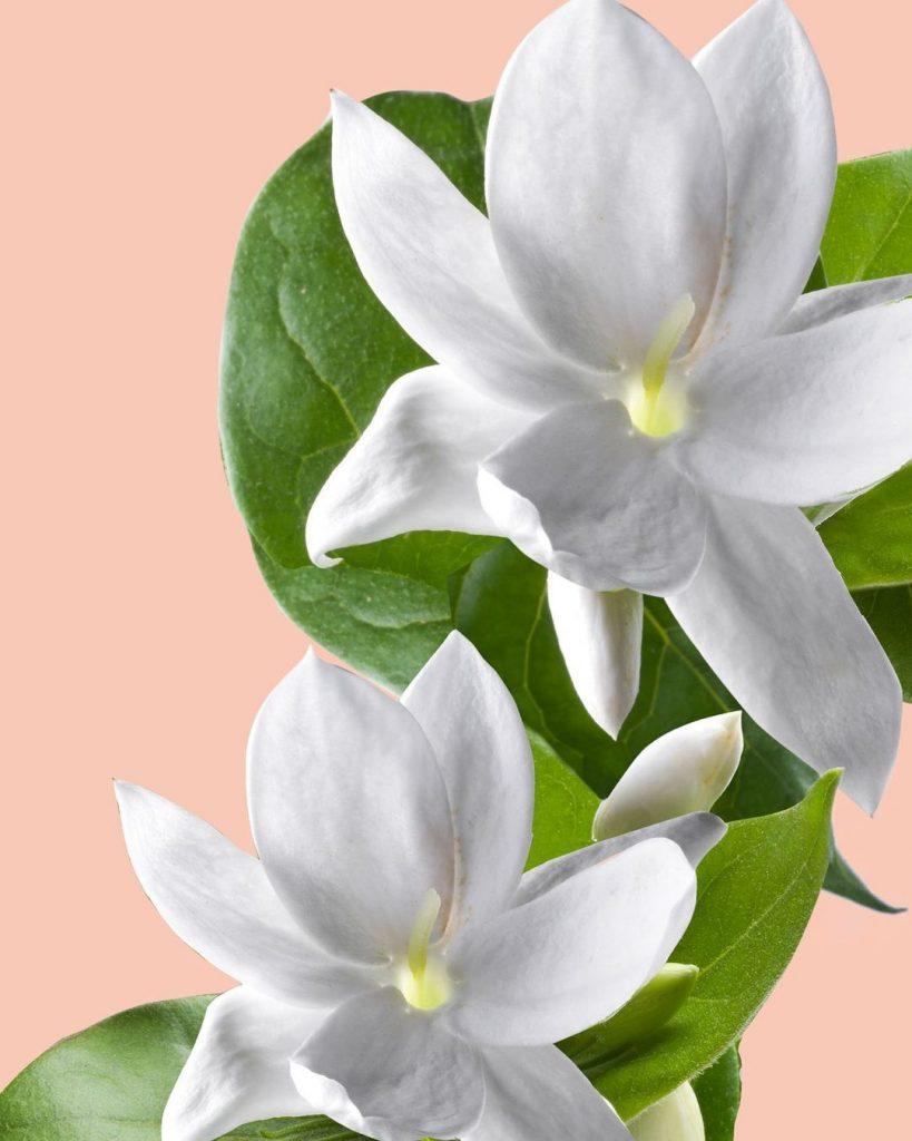 La flor de jazmín, conocida por sus propiedades antioxidantes, está en la formulación del Gel-Crema multi-corrección NUXE #CremeProdigieuseBoost.